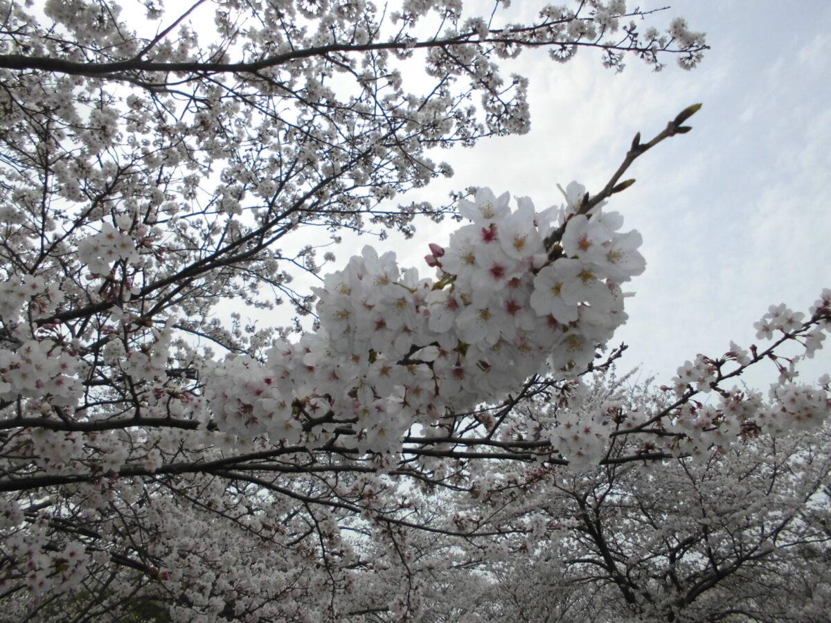 🌸お花見週間🌸~守山デイサービス~